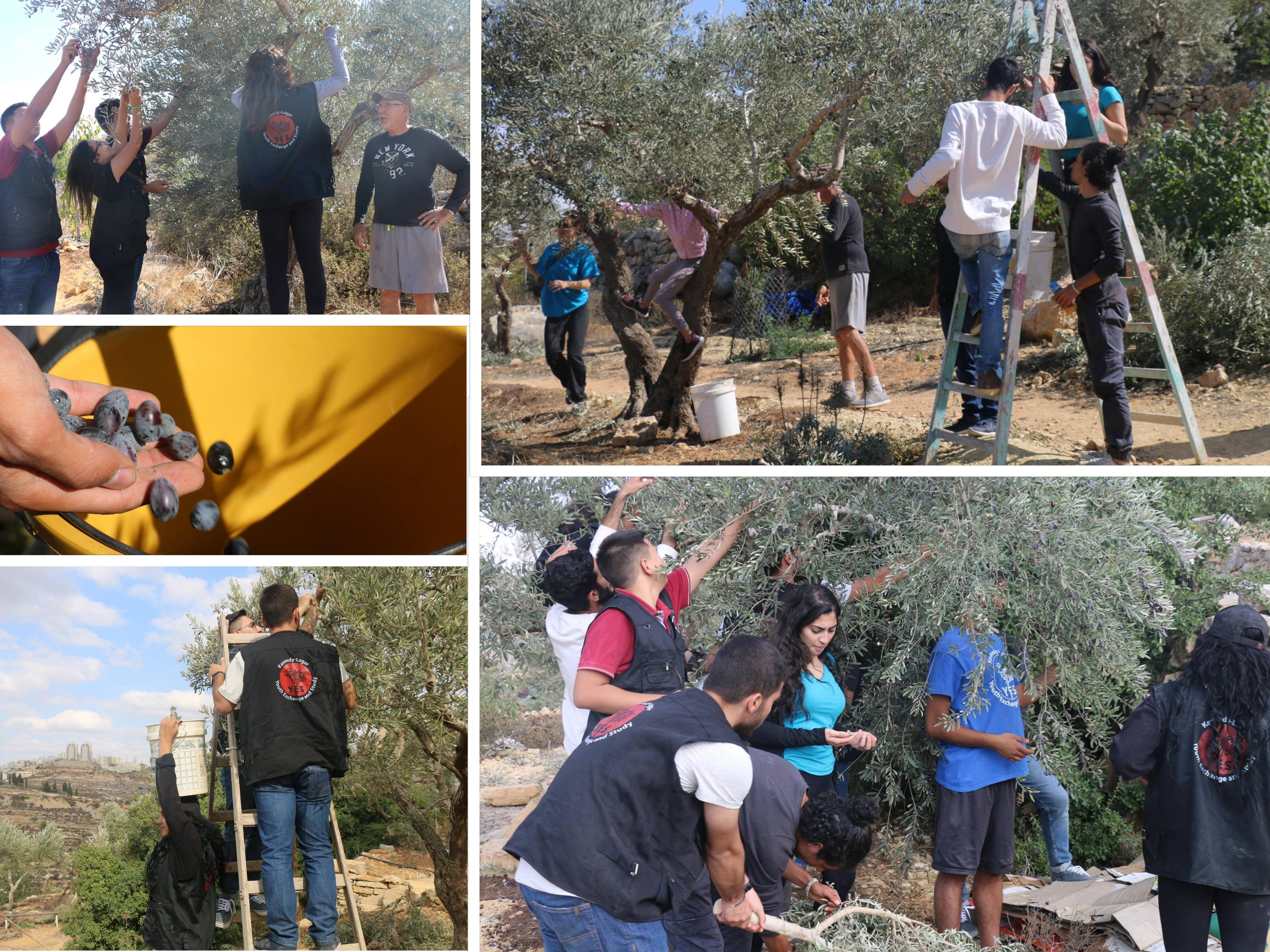 Picture 2 Olive Picking