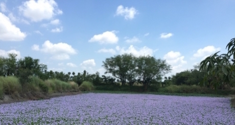 The Water Hyacinth