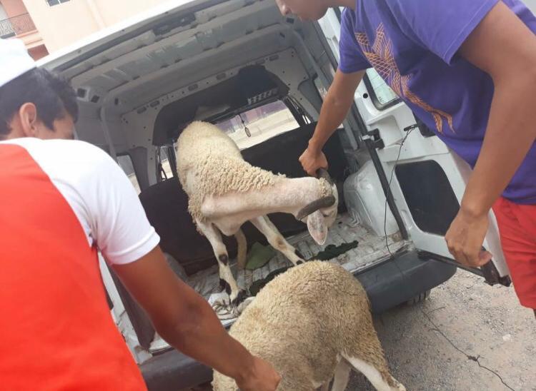 Cmn Youth Sheep
